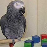 papagaj sivy zako 2
