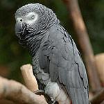 papagaj sivy zako