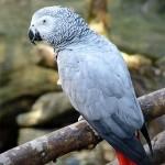 papagaj sivy zako 1
